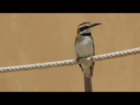 White-throated Bee-eater - Merops albicollis