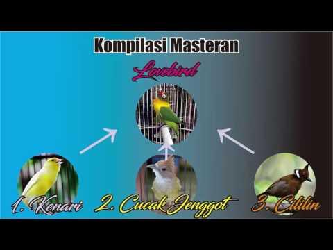 MASTER BURUNG - Masteran Burung Lovebird Vol. 1 ( kompilasi kenari, cucak jenggot dan cililin)