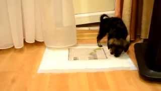Приучение щенка к чистоплотности в квартире