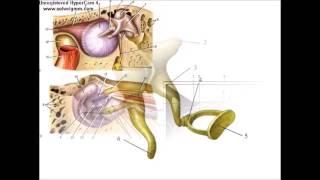 Преддверно-улитковый орган: анализатор слуха и равновесия
