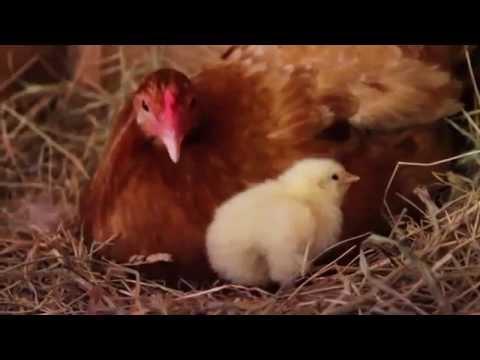 Yumurtadan çıkan Civcivler Youtube