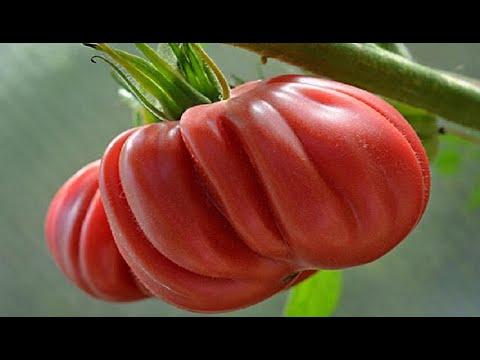 Лучшие сорта томатов для сезона 2020 | характеристика | урожайность | описание | томатов | томата | сортов | томат | сотра | т