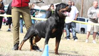 Imperator Vom Hause Zschammer - Airk Dog Show South Carolina - Rottweiler Stud Dog
