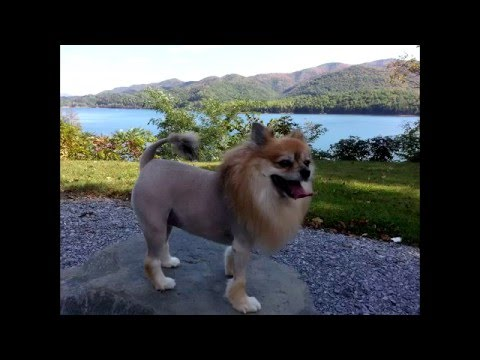 lion pomeranian how to pomeranian lion cut youtube 2746
