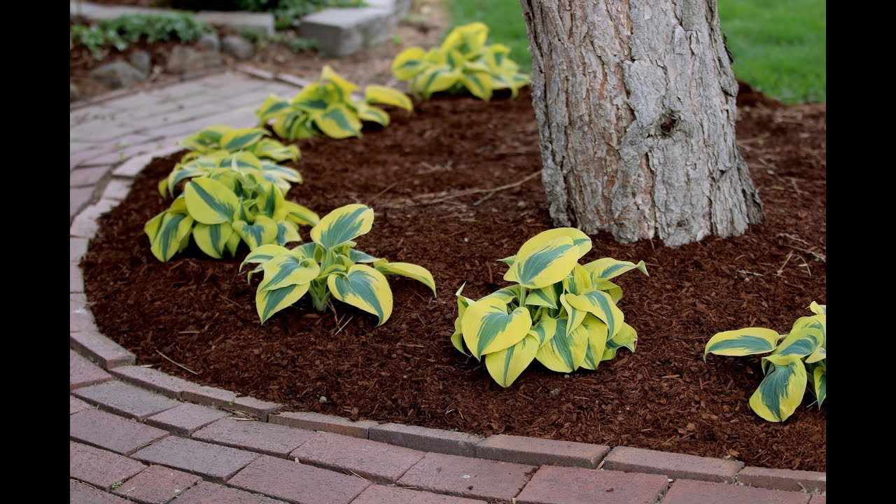 Planting A Hedge Of Autumn Frost Hostas Garden Answer Youtube