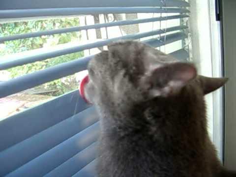Pepper the Cat, cleaning window blinds.AVI