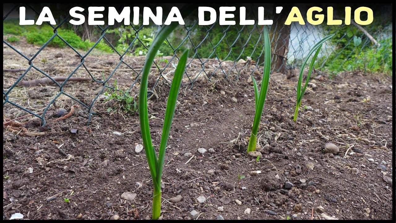 Cosa Seminare A Gennaio la semina dell'aglio