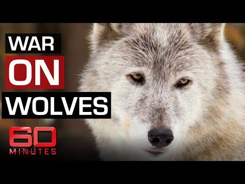 The fight to save Yellowstone wolves   60 Minutes Australia