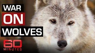 Baixar The fight to save Yellowstone wolves | 60 Minutes Australia