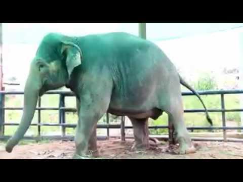 Gajah lahir keling