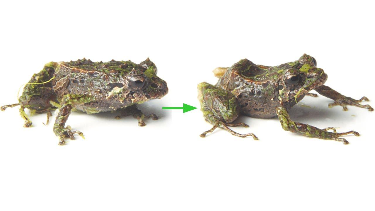 pristimantis mutabilis shape shifting frog from ecuador youtube
