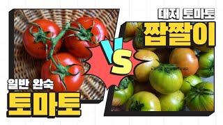 토마토 효능 부작용 고르는법 알아보아요! 대저토마토 짭…