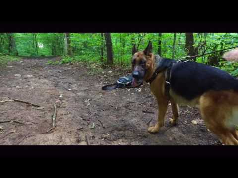 German Shepherd Tracking Lessons: Working With Different Handlers