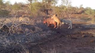 Lions Killing A Hippo (not Easy To Watch)
