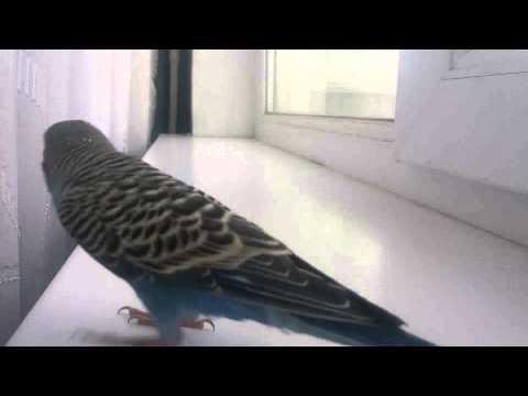 Пение волнистого попугая-Kevina