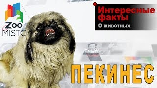 Пекинес - Интересные факты о породе  | Собака породы  пекинес