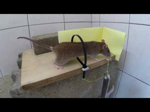 Como Acabar Com Ratos.
