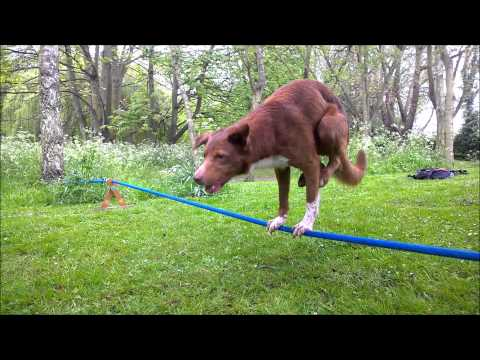 Ozzy The Dog Shows His New Stunt - Handstand On Rope