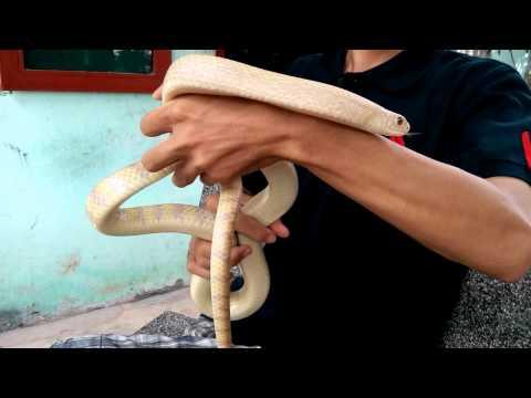 Kỹ thuật nuôi rắn ráo trâu - Rắn bạch tạng - 01688774950