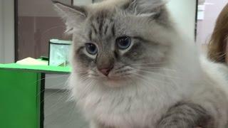 ТЕПЛЫЕ КОТЫ - выставка кошек - ТВЕРЬ 2015