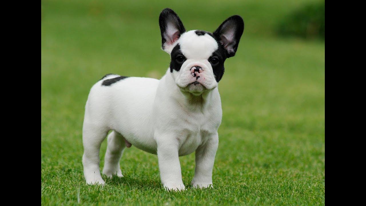 miniture french bulldog - goldenacresdogs