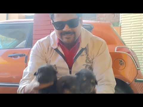 12 days old German Shepherd puppy is barking... AMAZING