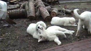Щенки мареммо-абруцкая овчарка +380961803579