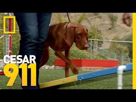 Challenging a Vizsla   Cesar 911