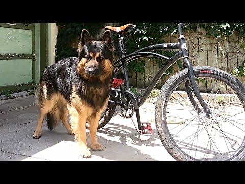 German Shepherd Lobo Bicycle Run