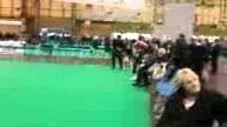 foxhound showing, crufts 2011.