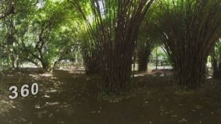 360 VR Green park with banyan trees in Mauritius
