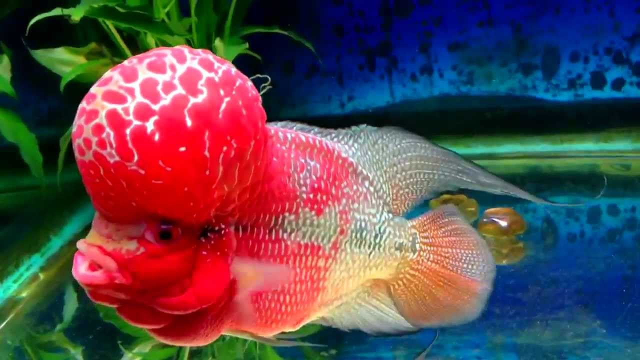 Flowerhorn fish care and attractive tank setup with 3 flowerhorns ...