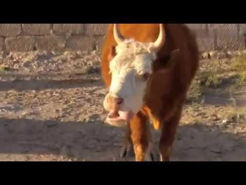 Ju kaka bubu (Mad Cow Mumbling)
