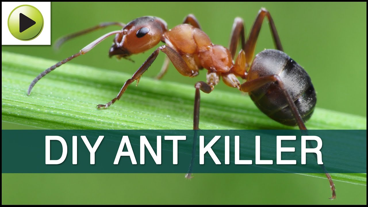 Homemade Ant Killer Youtube