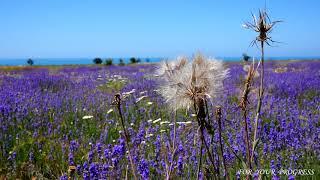 Природа, лаванда, цветы, поле, птицы поют, музыка, звуки природы, релакс, медитация, lavender