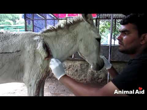 Wounded and bleeding donkey stranded on highway rescued