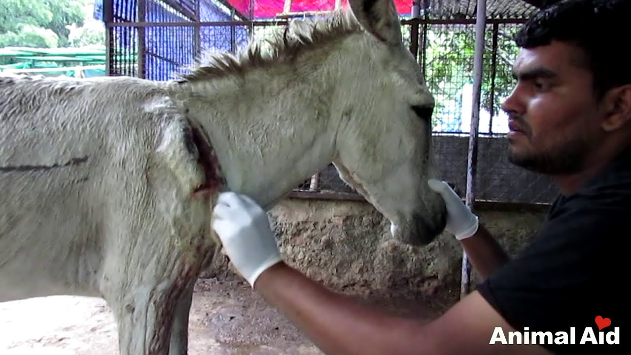wounded and bleeding donkey stranded on highway rescued youtube