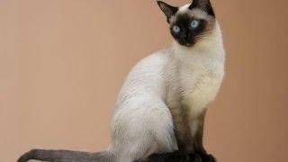 сиамская кошка описание породы содержание и уход