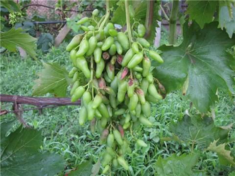 Антракноз винограда# как лечить, признаки антракноза
