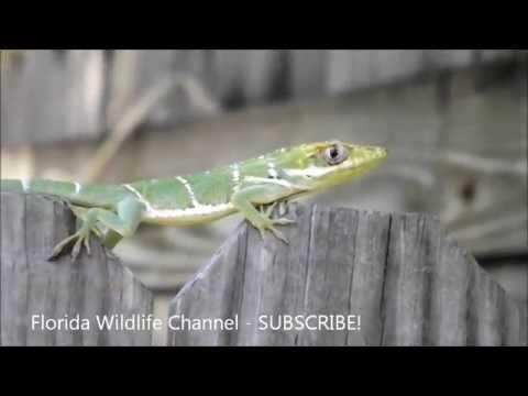 Florida Wildlife - Invasive Cuban Knight Anole