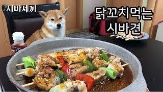 닭꼬치 먹을 생각에 빙구같이 웃는 강아지 [시바세끼]  / 시바견 곰이 탱이 shiba inu