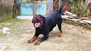 Chó Sủa Dọa Cấp Độ 1 | Rottẁeiler Barking | Loki Gervi