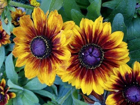 Amazing and most Beautiful Blanket Flowers | Gaillardia