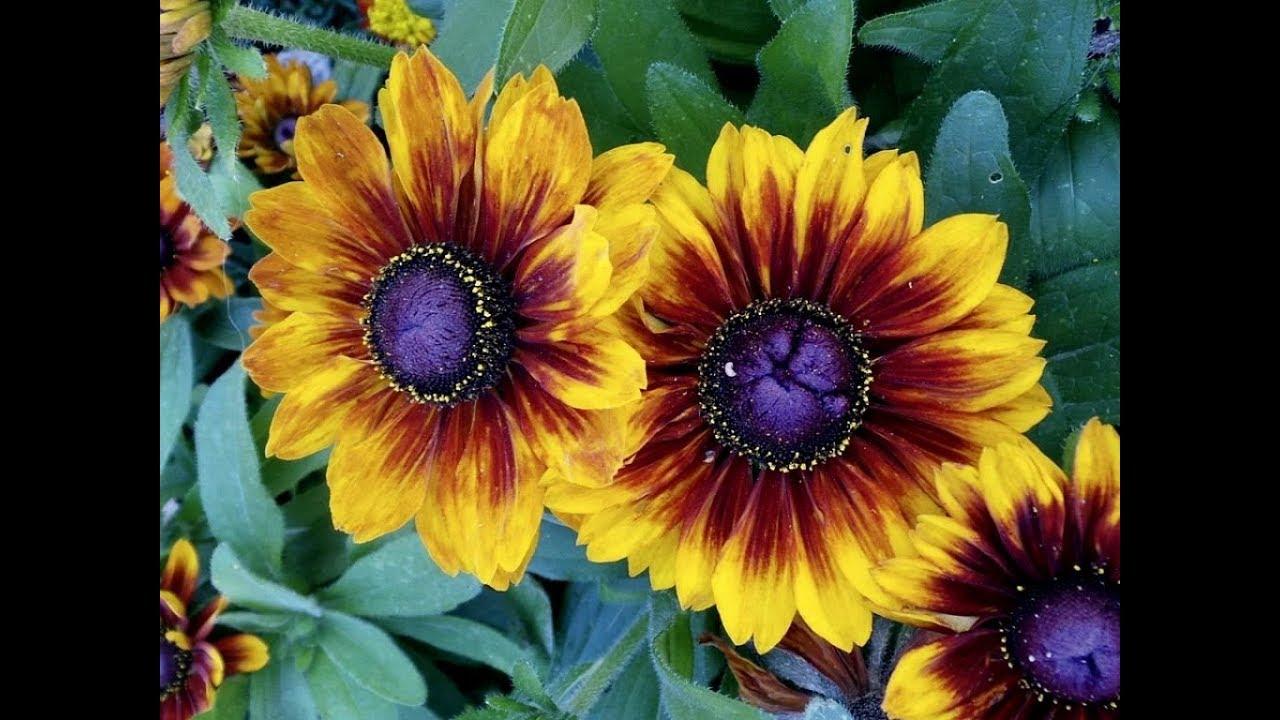 Amazing And Most Beautiful Blanket Flowers Gaillardia Youtube