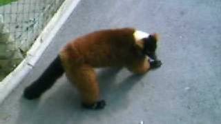 3 legged animal escapes from zoo
