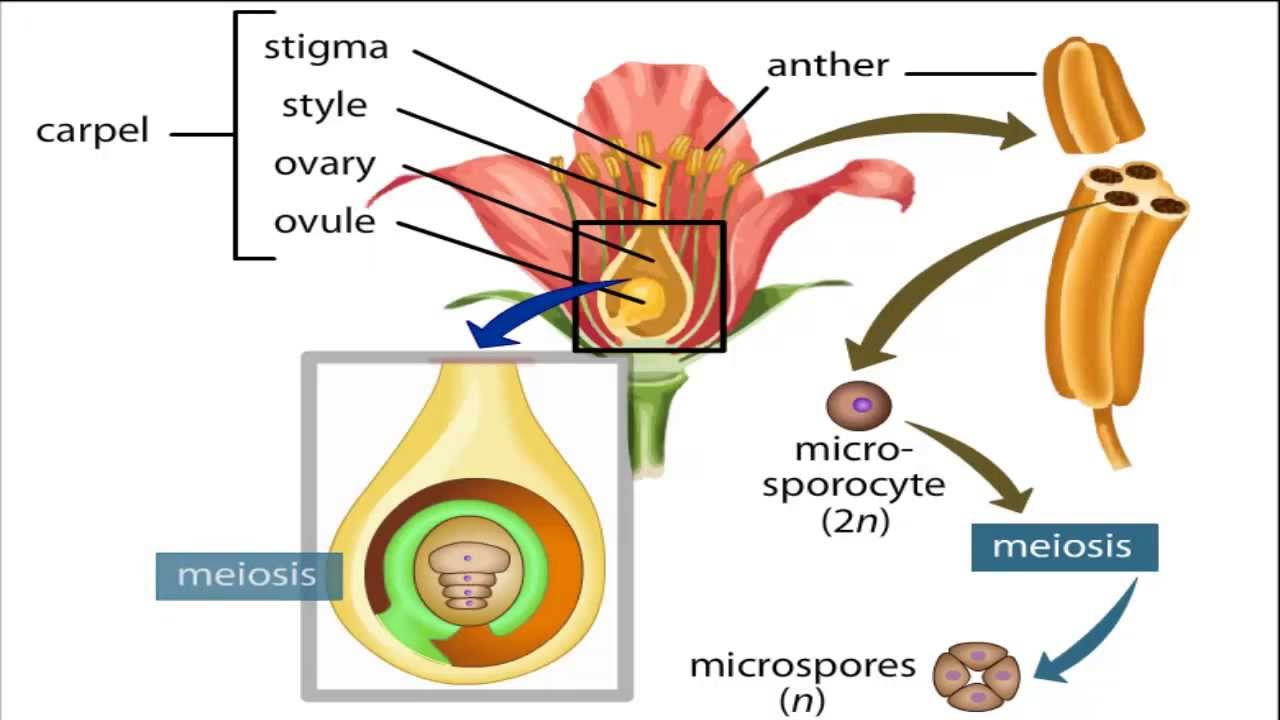 angiosperm life cycle - YouTube