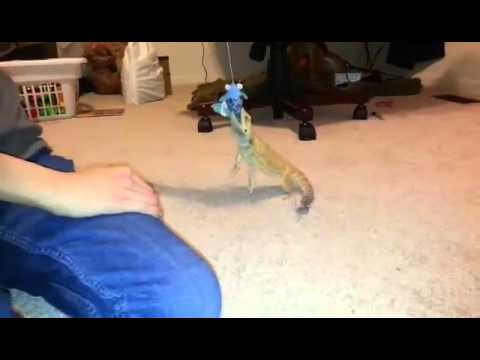 Bearded Dragon plays with cat toys. Jukin Media Verified ...