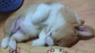 Young Goro, Photo / コーギー子犬 スライド・ショー 20051225-20060214 Goro@welsh Corgi 成長記録 Puppy