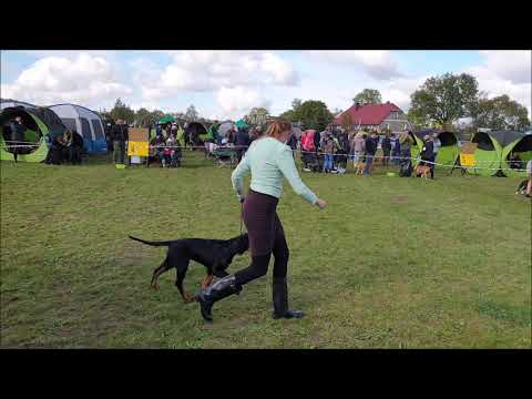 1 national dog show for british breeds Jelenia Góra - Gordon setter puppy Ignotus Peverell