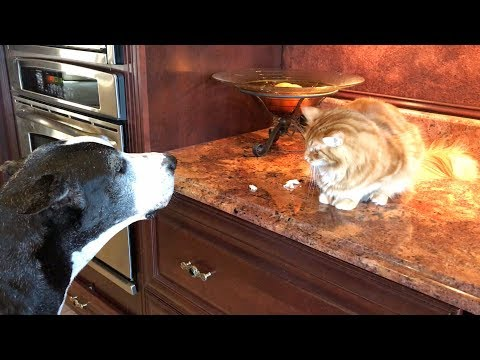 Funny Great Dane Chats with Cat About Chicken Snack